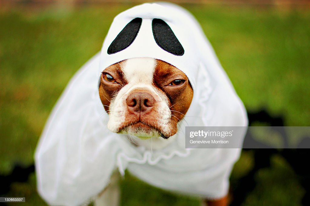 Grumpy boston terrier in ghost costume : Stock Photo