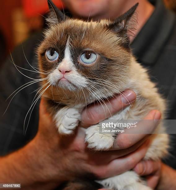 grumpy cat stock fotos und bilder getty images