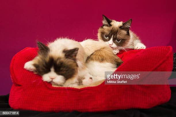 Grumpy Cat checks on her animatronic double at Grumpy Cat animatronic launch at Madame Tussauds San Francisco on December 8 2015 in San Francisco...