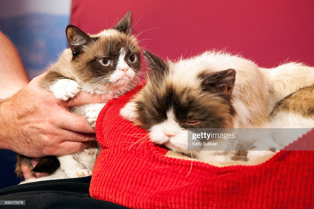Grumpy Cat checks out her animatronic counterpart at Madame Tussauds San Francisco on December 8, 2015 in San Francisco, California.