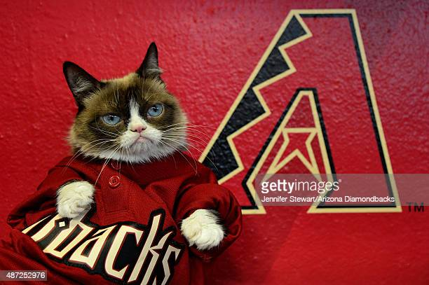 'Grumpy Cat' sits in the dugout before the MLB game between the Arizona Diamondbacks and San Francisco Giants at Chase Field on September 7 2015 in...