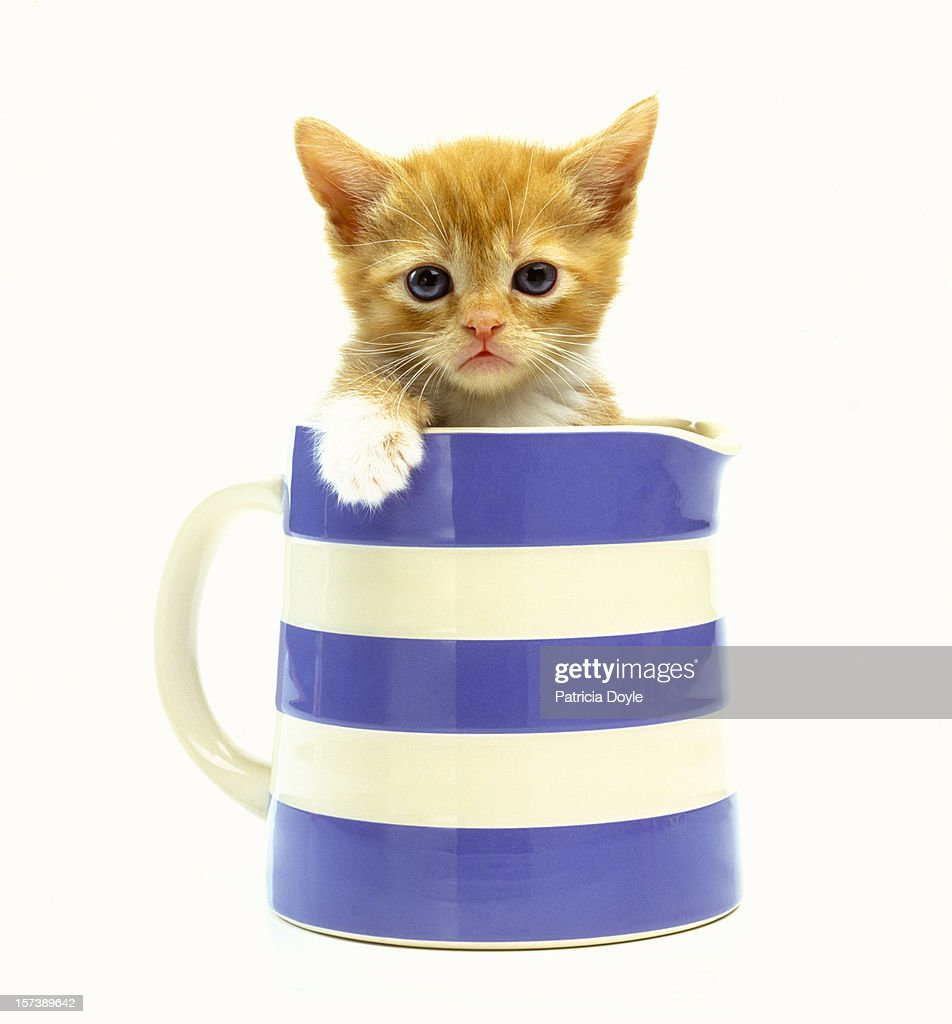 Grumpy ginger kitten in a classic milk jug : Stock Photo