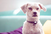 Angry little dog on a colorful background with vintage edition.