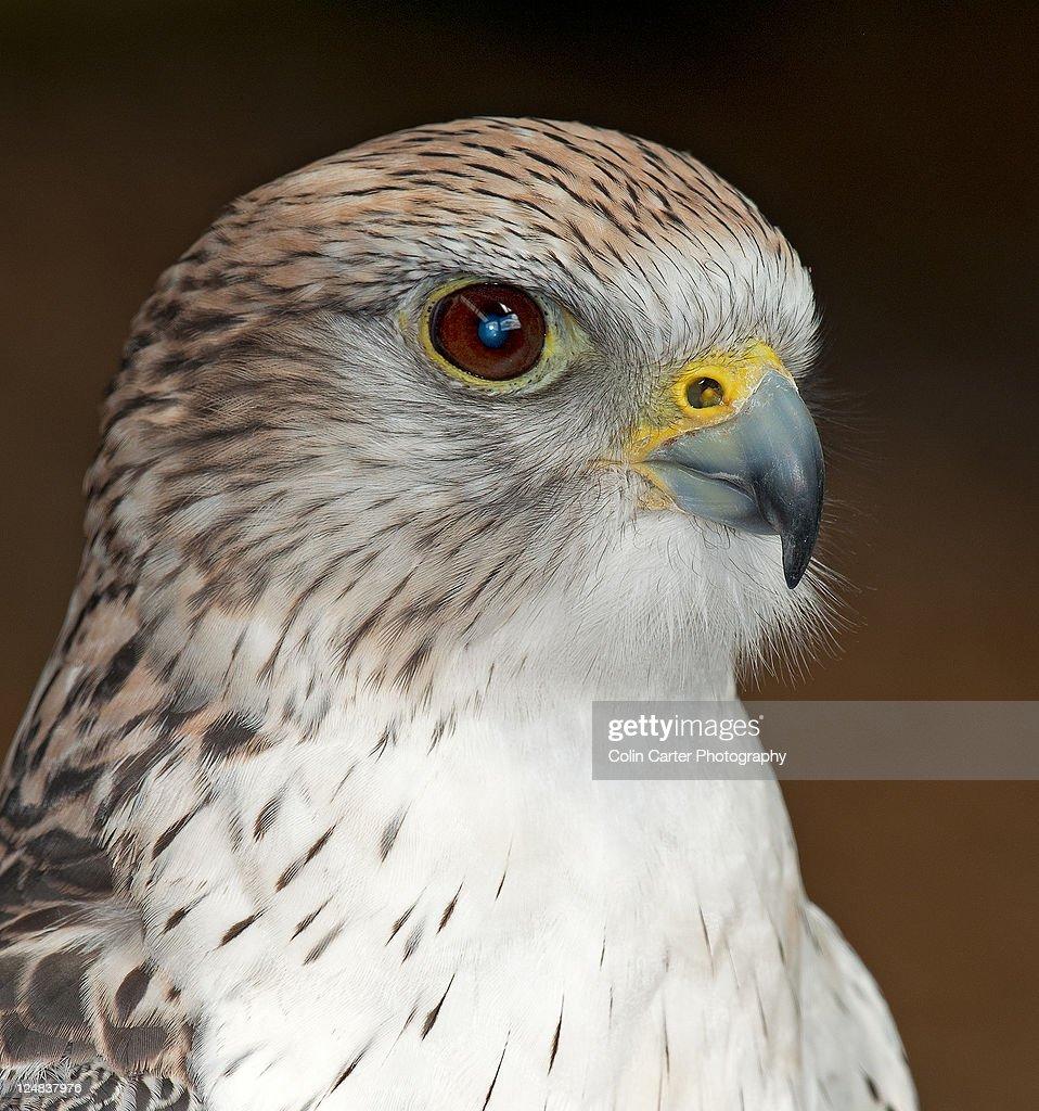 Gry saker falcon : Stock Photo