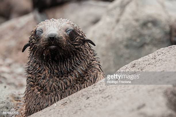 Guadalupe fur seal pup behind rock looking at camera, Guadalupe Island, Baja California, Mexico