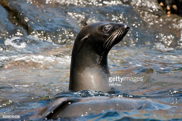 Guadalupe Fur Seals Arctocephalus townsendi were at one point thought to be too few in number to avoid extinction A sizeable population can now be...
