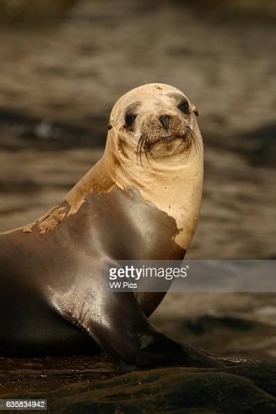 Guadalupe Fur Seals [Arctocephalus townsendi] were at one point thought to be too few to avoid extinction A sizeable population can now be found off...