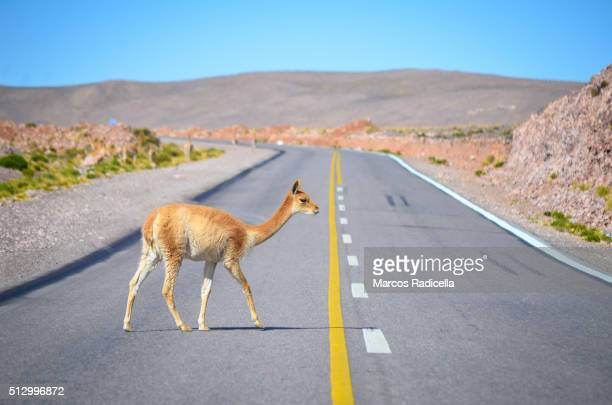 Guanaco at Jujuy Province, Argentina