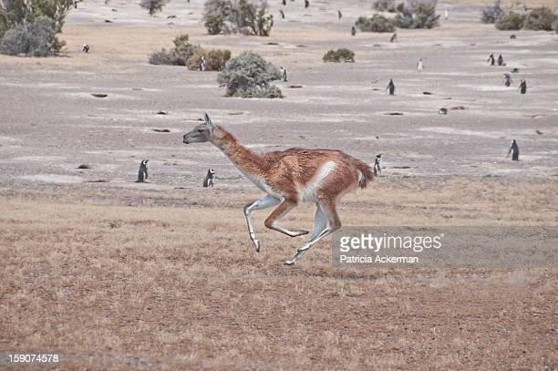 guanaco en fuga