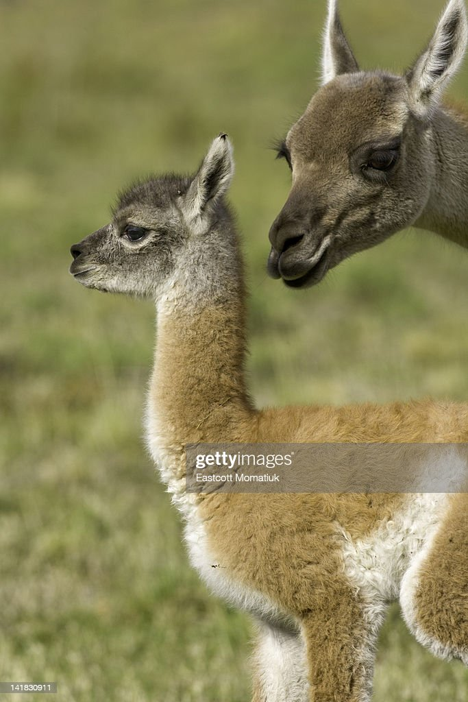 Guanaco female sniffing her calf : Stock Photo