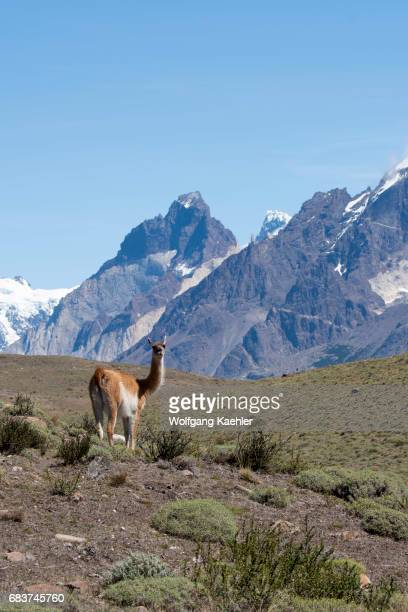 A guanaco male is guarding his territory in Torres del Paine National Park in southern Chile