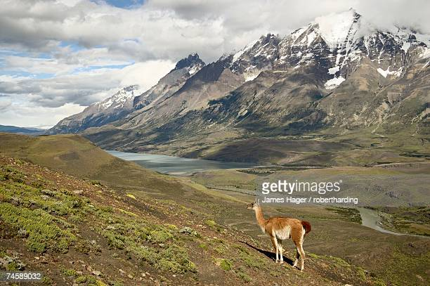 Guanaco (Lama guanicoe) with mountains and Lago Nordenskjsld in the background, Torres del Paine National Park, Patagonia, Chile, South America
