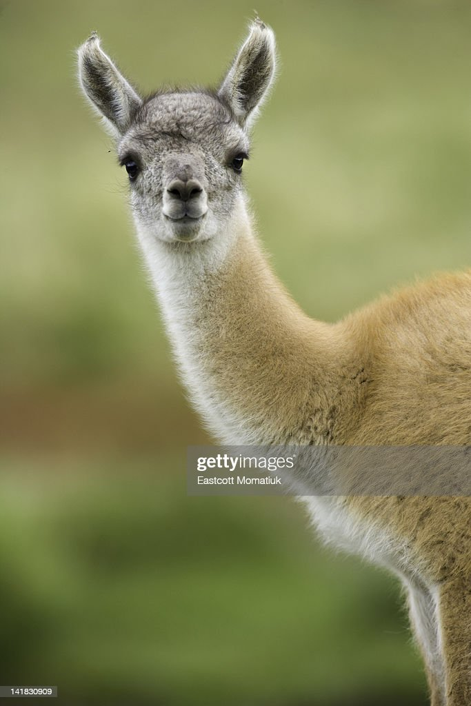 Guanaco young calf standing in grass