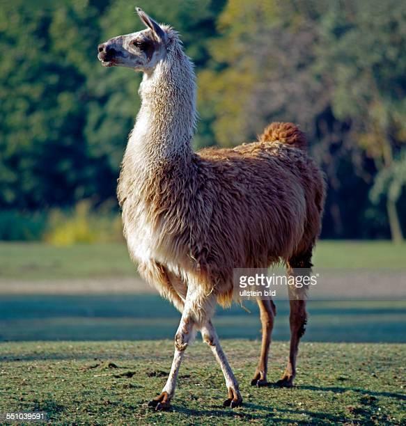 Guanako das hoeckerlose Wildkamel der Anden aus dem als Haustierform das Lama domestiziert wurde