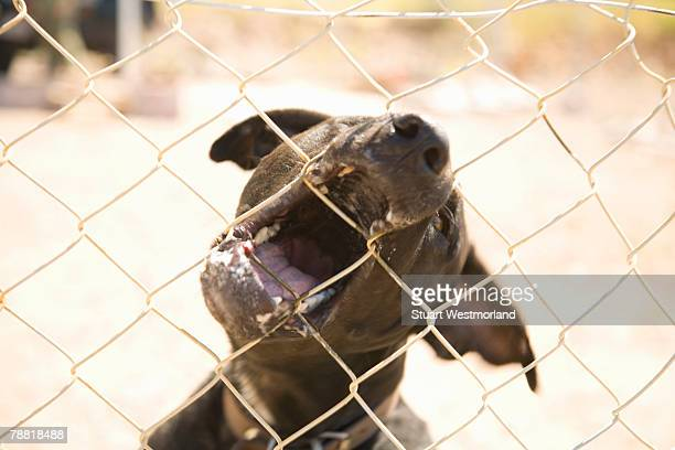 Guard Dog Snarling and Biting Through Fence