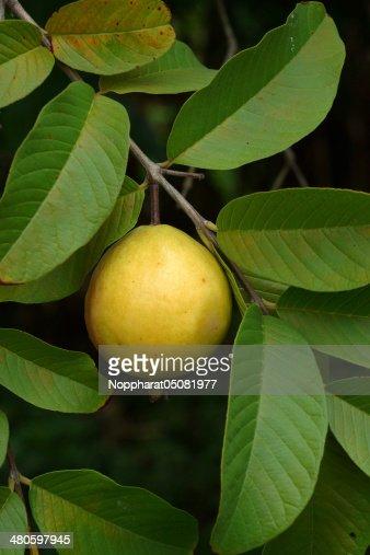 Guava fruit (Psidium guajava L) on tree. : Stock Photo