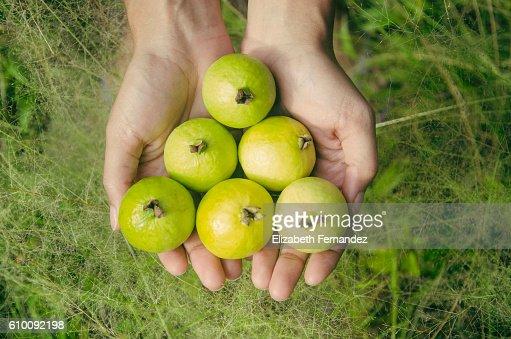 Guavas : Stock Photo