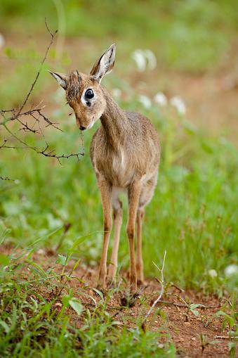 Guenthers Dikdik, Madoqua guentheri, standing in the savanna of ...