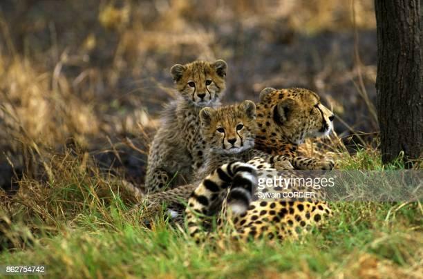 Guepard et ses petits au Kenya
