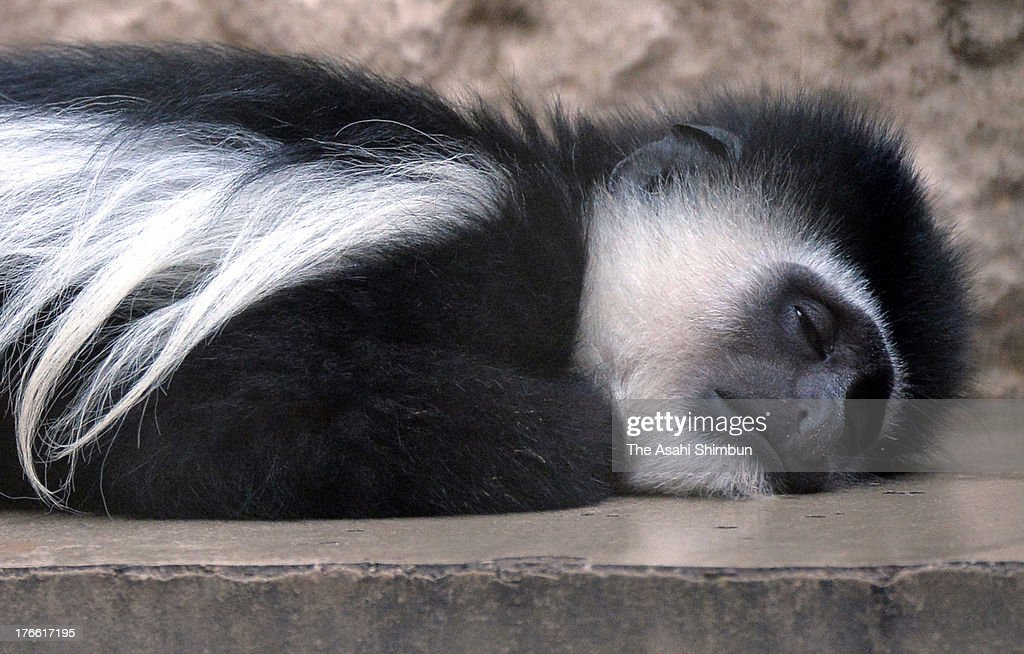 A guereza lies at Ueno Zoo on August 15, 2013 in Tokyo, Japan. Tokyo have recorded more than 30 degrees celsius for 13 days.