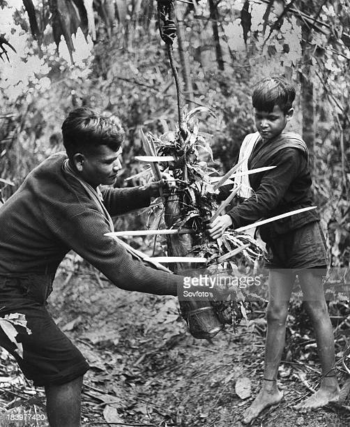 Guerrillas in the Communistcontrolled part of South Vietnam preparing a spiked bamboo weapon which is designed to drop down on the enemy as he...