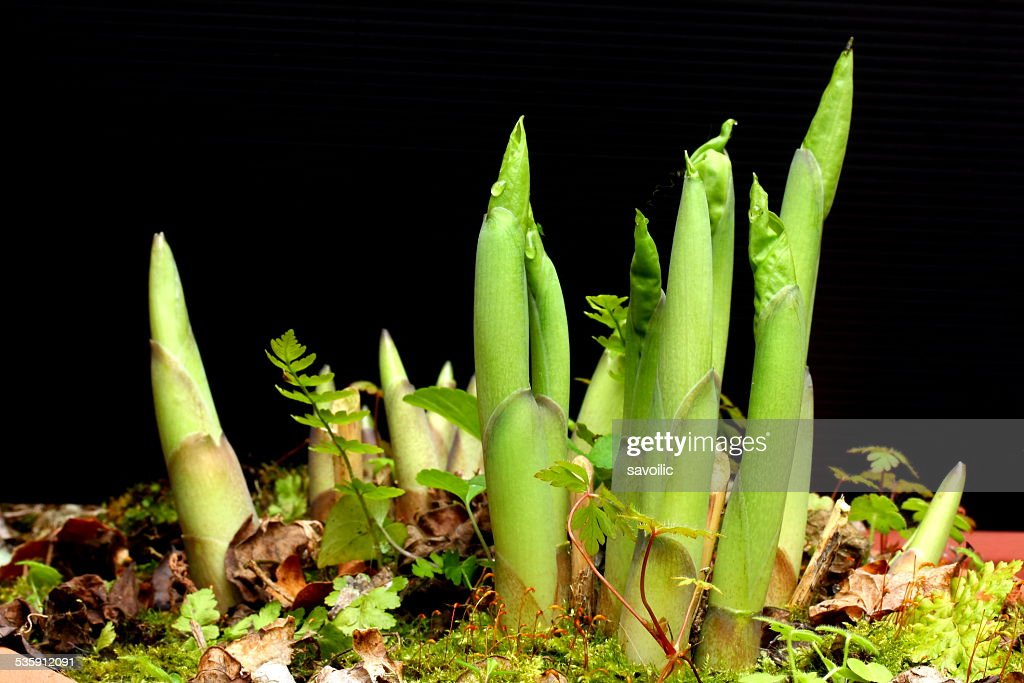 Hosta : Stock Photo