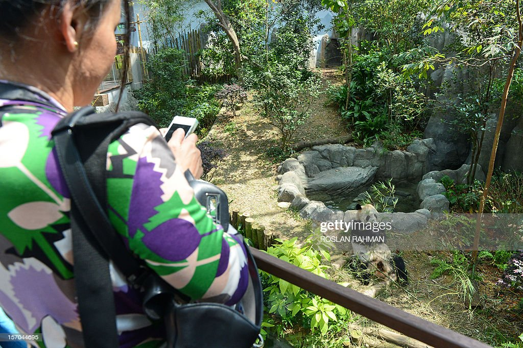 A guest takes photographs of 'Kai Kai' (R), a panda from China in its enclosure during the official opening at the River Safari in Singapore on November 28, 2012. Two giant pandas, aged four and five-years old and on loan from China for 10 years to the Wildlife Reserve Singapore (WRS), will make their official public appearance on November 29.