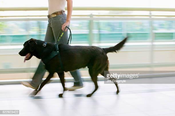 Guide Dog Leading Owner
