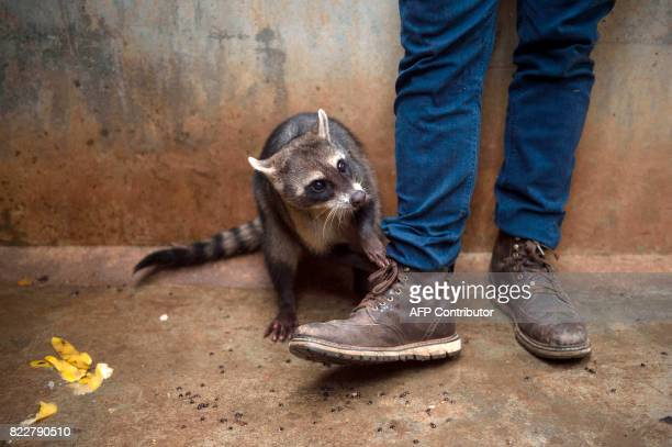 Guilherme a young raccoon plays with a worker's shoes at the Animal Recovery Center of Ibama in Seropedica state of Rio de Janeiro Brazil on July 18...