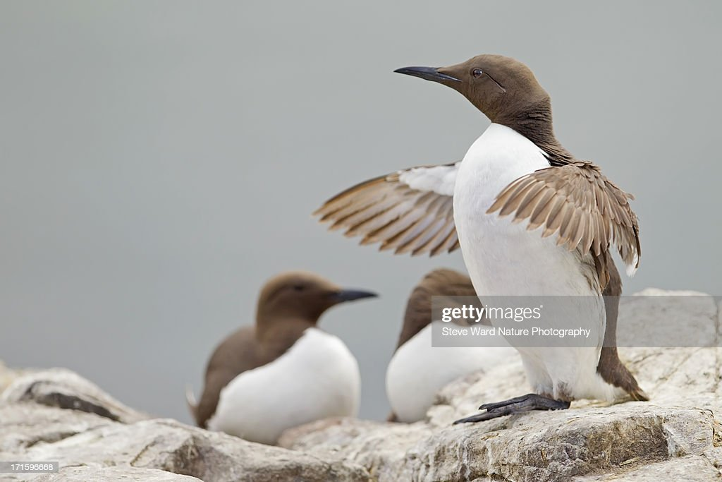 Guillemot at Farne Island with wings spread out