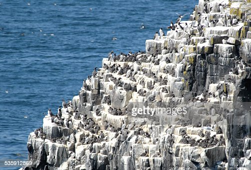 Guillemot nesting rock-shelf : Stock Photo
