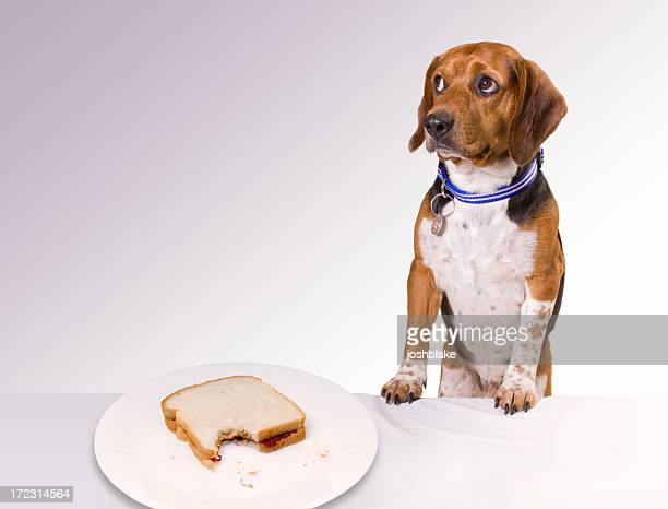 Guilty looking puppy near an eaten sandwich on a white plate
