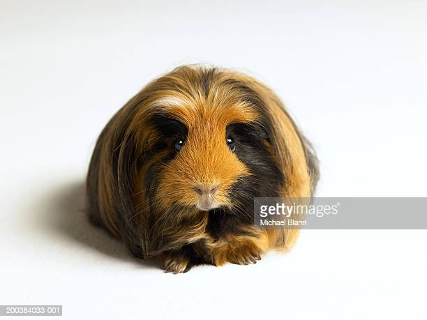 Guinea pig against white background, close-up