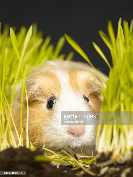 Guinea pig amongst grass, close-up