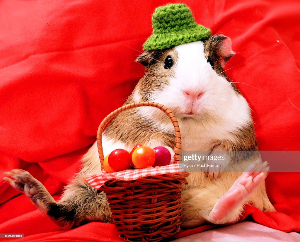 Guinea pig in a hat sitting with fruit basket : Stock Photo