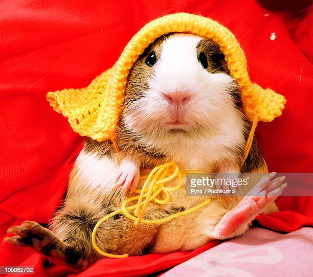 Guinea pig in a yellow bonnet against red bac
