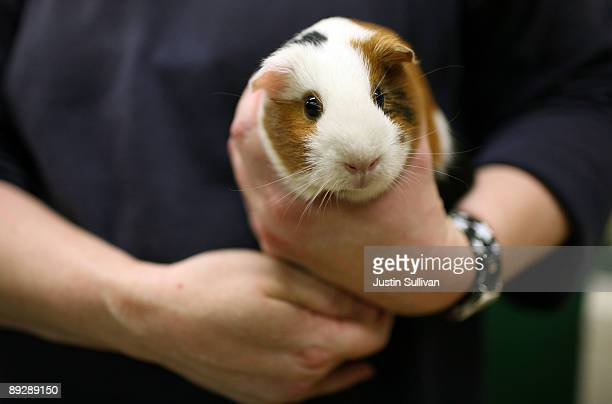 Guinea Pig is held by a worker at the San Francisco Animal Care and Control July 27 2009 in San Francisco California Disney's new blockbuster film...