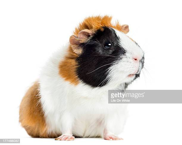 Guinea Pig looking away, isolated on white