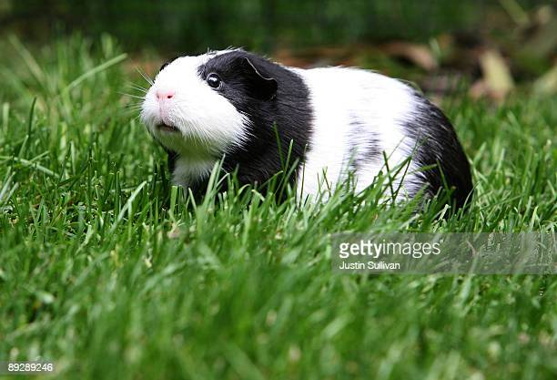 Guinea Pig named Oreo sits in the grass at the San Francisco Zoo July 27 2009 in San Francisco California Disney's new blockbuster film GForce which...