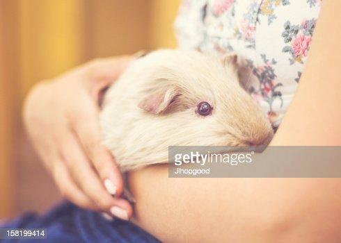 Guinea Pig : Foto de stock
