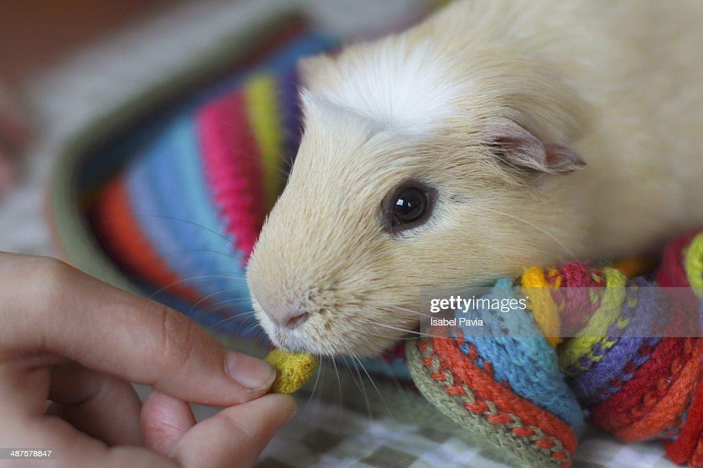 Girl hand feeding a Guinea pig