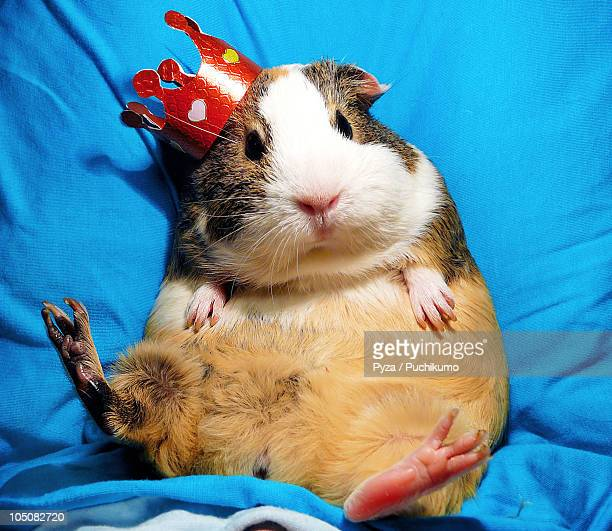 Guinea pig wearing a crown