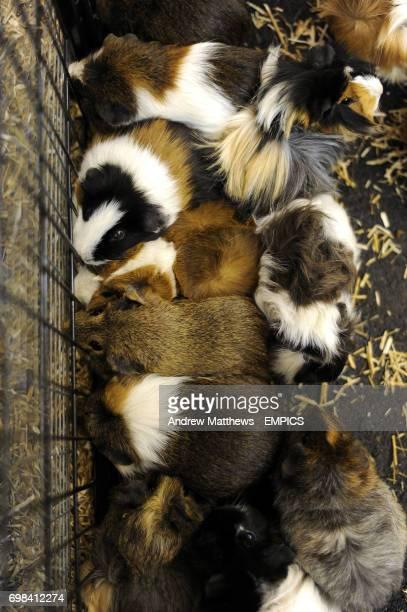 Guinea Pigs at Cheltenham Racecourse