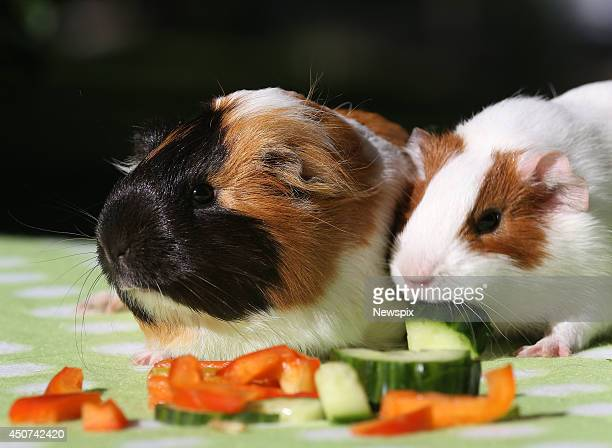 Guinea pigs awaiting adoption at the Animal Welfare League Queensland shelter are seen on June 16 2014 on the Gold Coast Queensland Australia The...