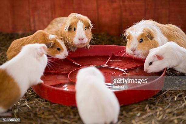 Guinea pigs eating