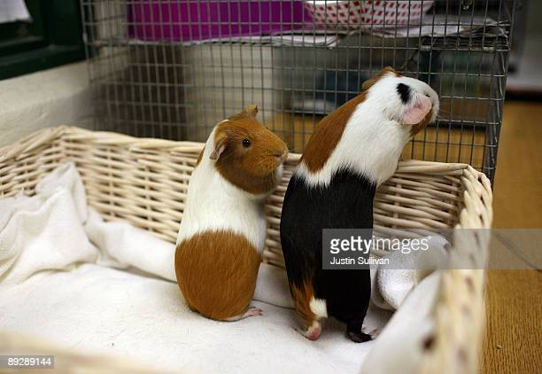 Guinea Pigs sit in a basket at the San Francisco Animal Care and Control July 27 2009 in San Francisco California Disney's new blockbuster film...