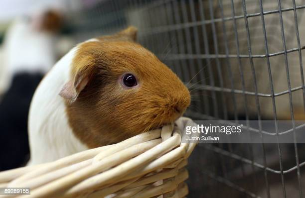 Guinea Pigs sits in a basket at the San Francisco Animal Care and Control July 27 2009 in San Francisco California Disney's new blockbuster film...