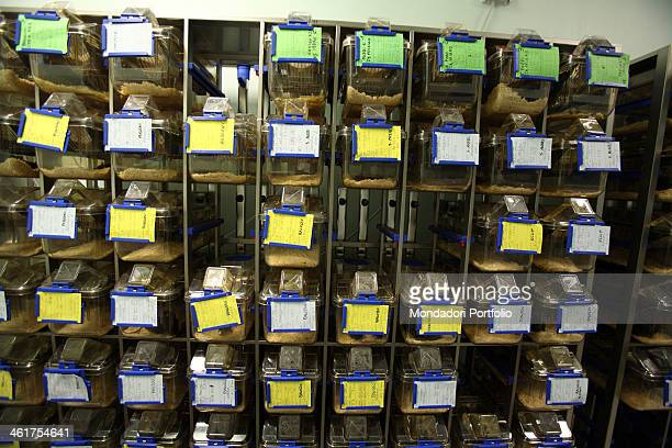 Guinea pigs used by some researchers from the professor Silvio Garattini's team at the Mario Negri Institute for Pharmacological Research Milan Italy...