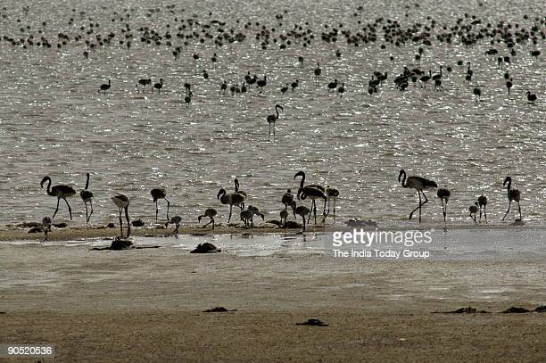 Gujarat has spectacular flamingo colonies in the Great and Little Rann of Kutch the only known regular breeding areas of the nearthreatened Lesser...