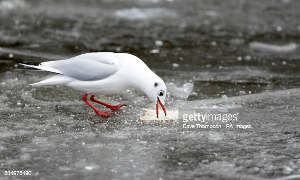 A gull attempts to eat a piece of bread through a frozen lake at Etherow Country Park in Stockport